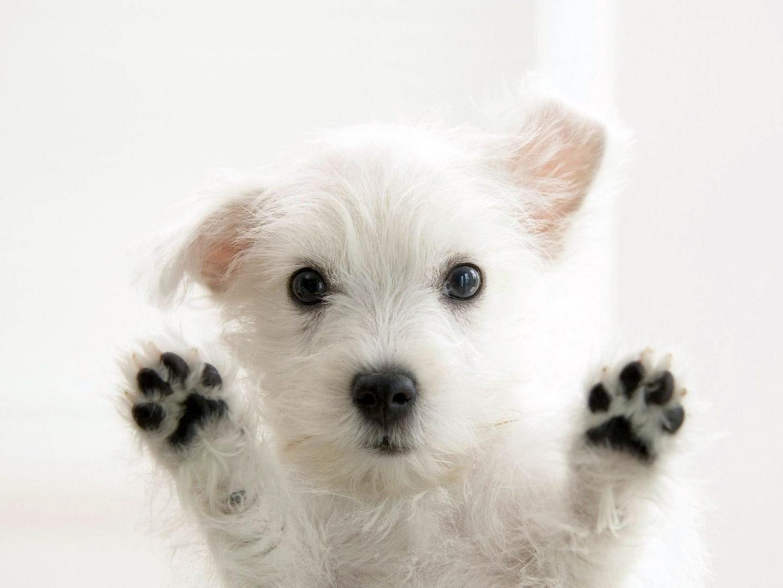 Cachorro-blanco