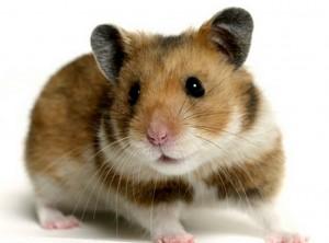 hamster-e1385563667885