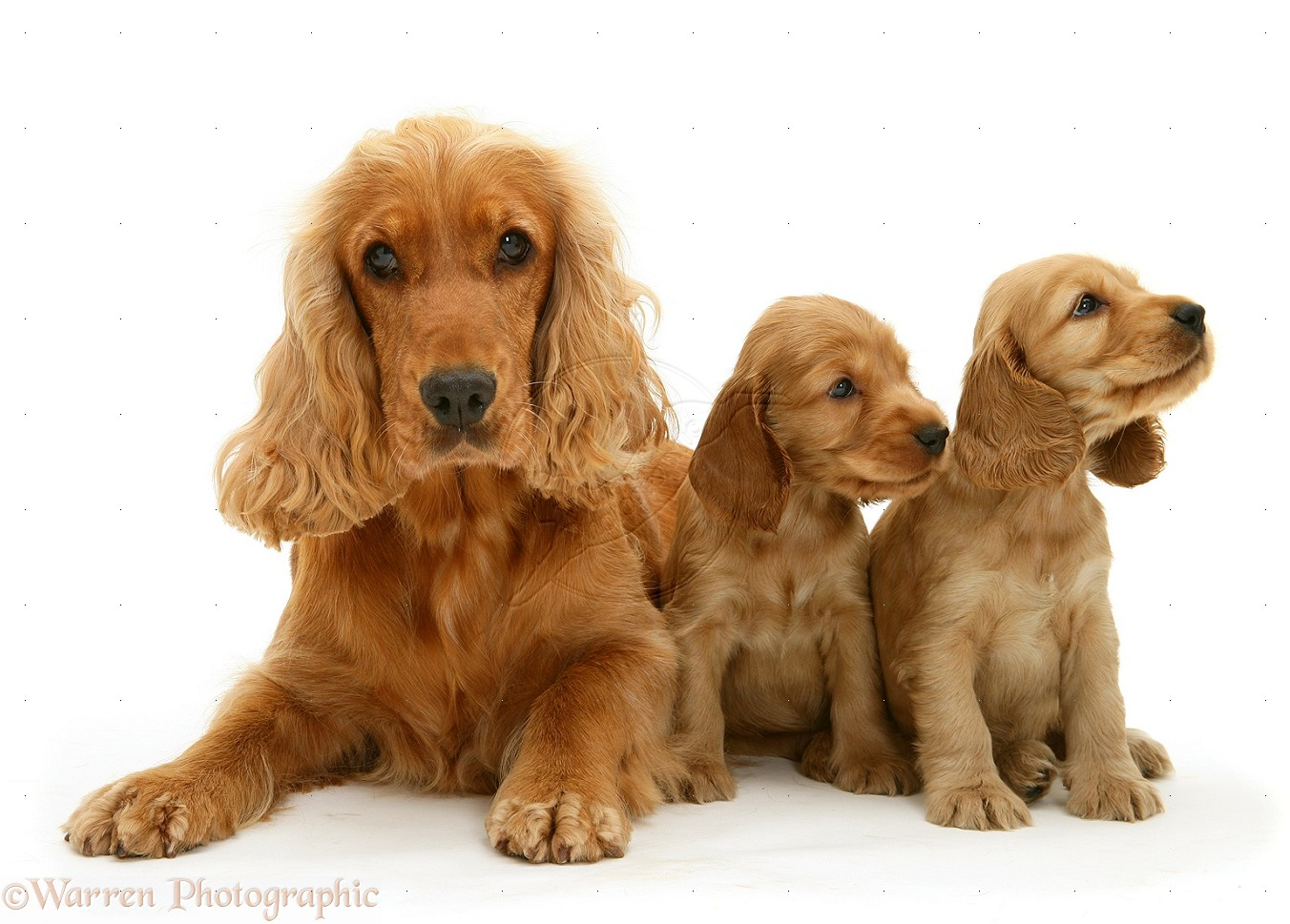 Cocker-Spaniel-and-pups-white-background