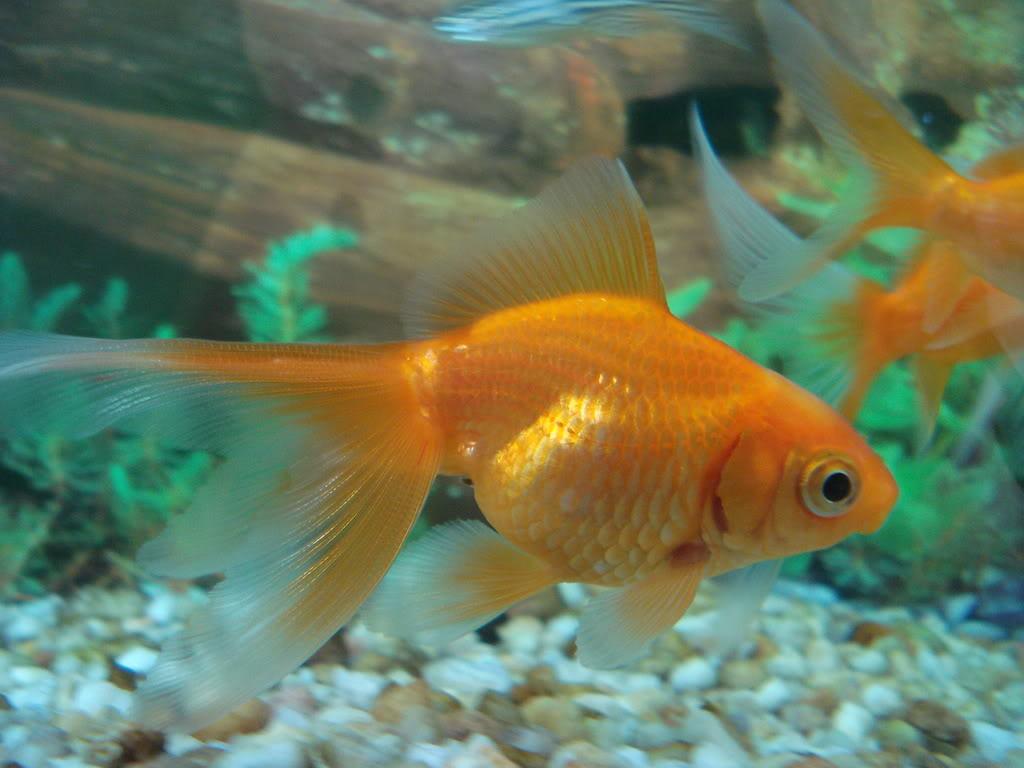 C mo cuidar un pez dorado o carpa animales hoy for Como cuidar peces de agua fria