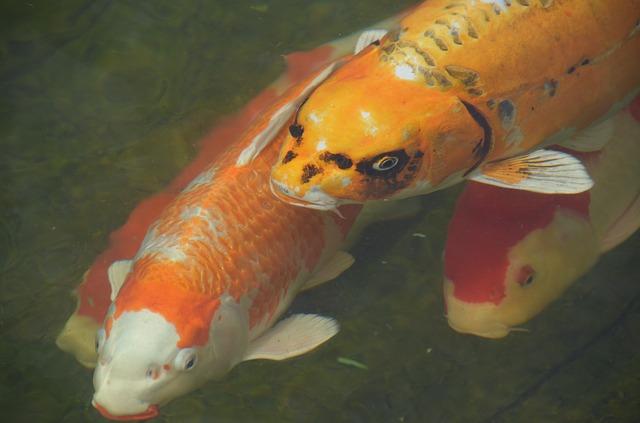 Fotos de peces carpa y peculiaridades de su cr a im genes for Como criar peces koi