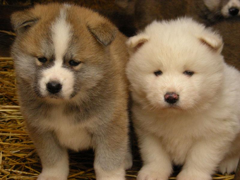 Akita_Inu_puppy_by_niziolek