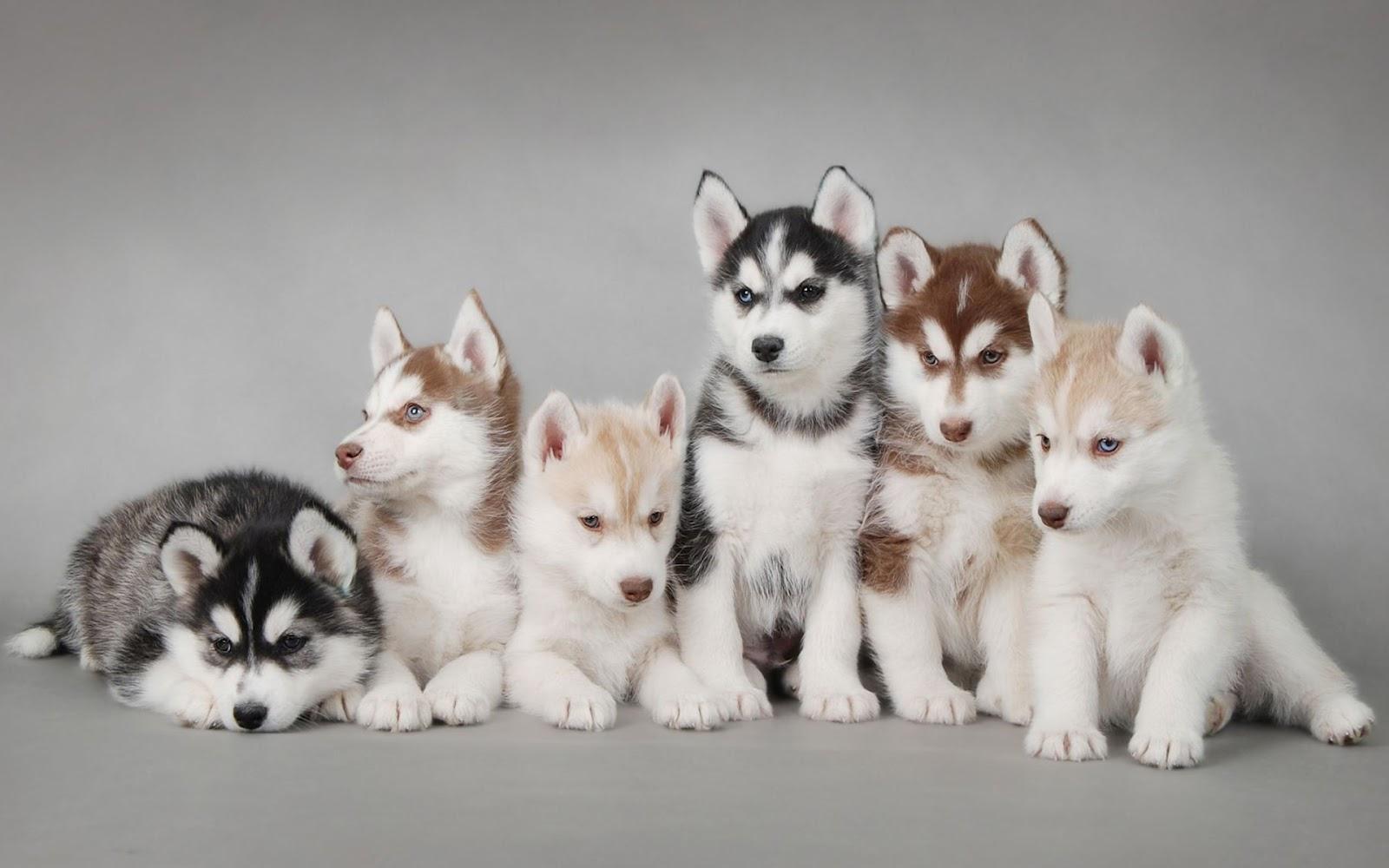 Cachorros-Husky_Imagenes-de-Mascotas