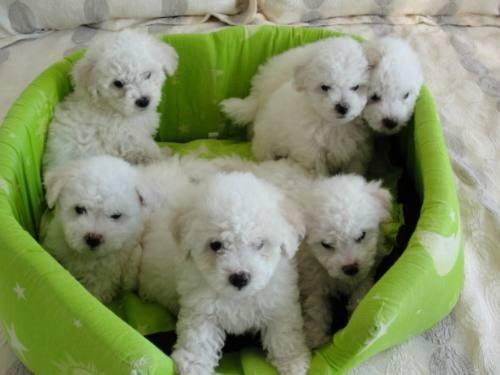 cachorros-de-bichon-frise-para-adopcion-o0htymoh_31