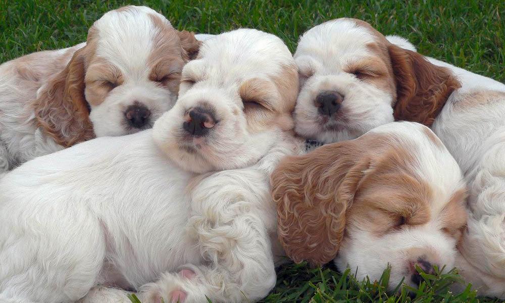 cachorros-perros