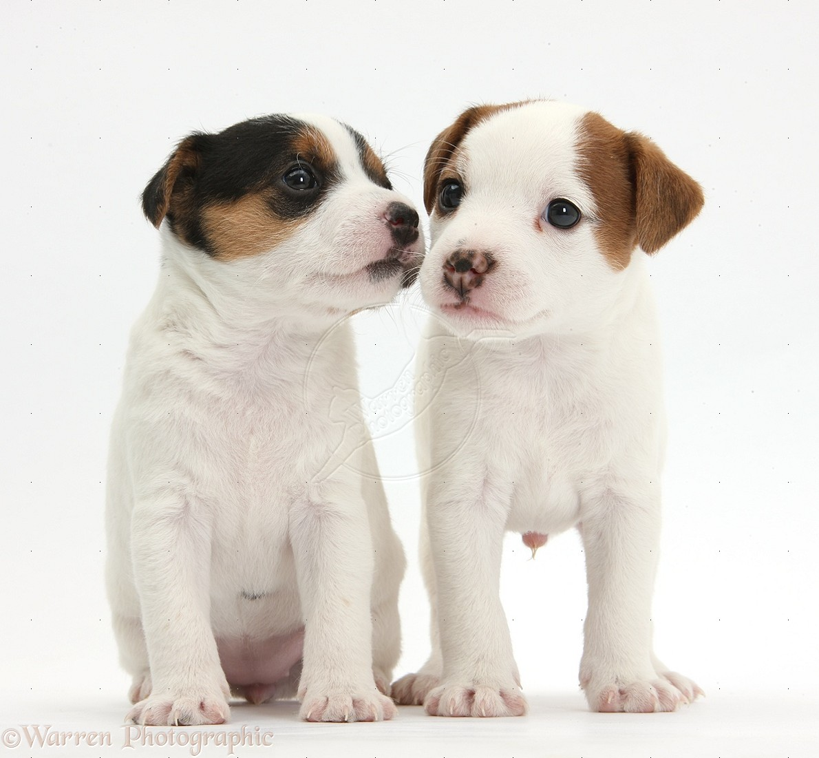 cachorrosJack-Russell-Terrier-puppies-4-weeks-old-white-background