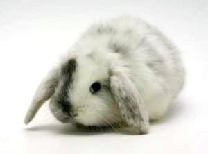 conejo-belier-4885006z0