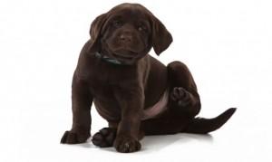 deco-mascotas-456-alergia-a-pulgas-en-perros-xl-668x400x80xX