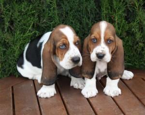 fotos-basset-hound-cachorros_0
