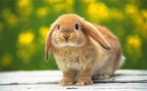fotos-de-conejos-enanos