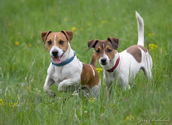 jack-russell-terrier-100305