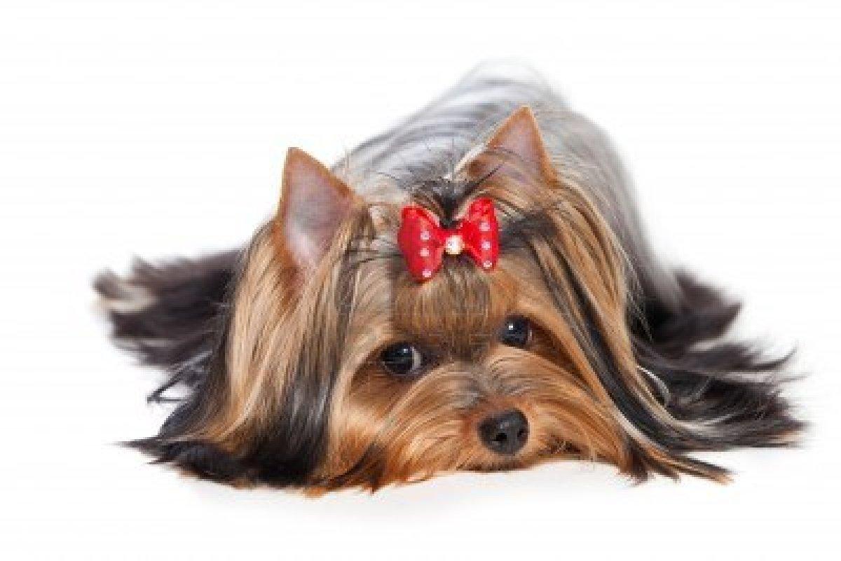 yorkshire-terrier 2