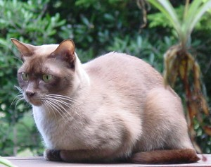 Burmese_chocolate_cat