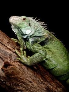 green-iguana_563_600x450