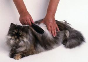 Cambio-de-pelaje-en-los-gatos.