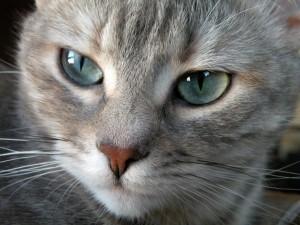 Gato-de-ojos-grises