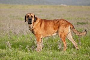 Spanish-Mastiff-3