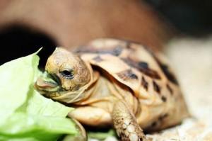 alimentacion-tortuga-de-tierra