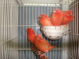 canarios fuera del nido
