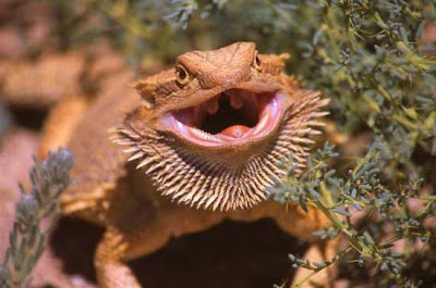 dragon-barbudo