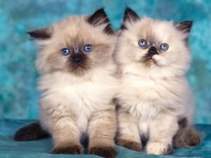 gatitos-persas-6