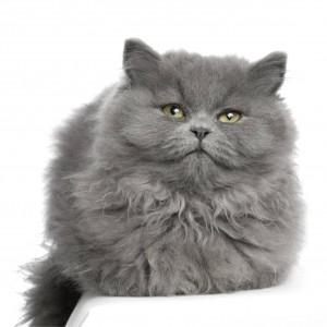 gato-persa-gris-0