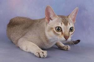 gato-singapur