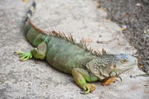 green_iguana_2