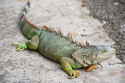 The Iguanas Mona