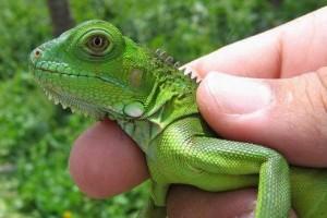 iguanas-enfermedades1