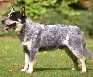 perro de ganado australiano