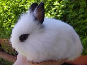 ConejoEnanoBlanco