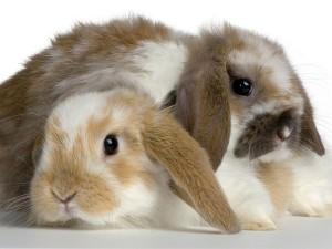 ConejosEnanos