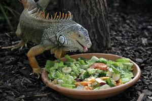 IguanaComiendo