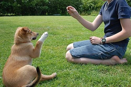 dog_adestra01