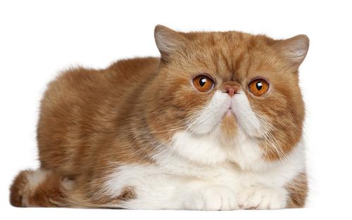 gato exoticoshutterstock_74094664