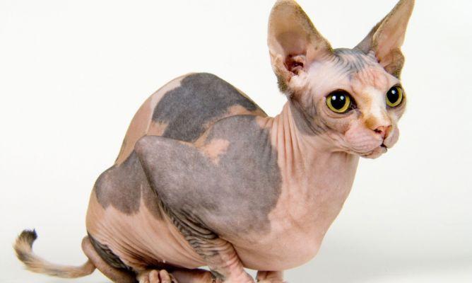 gato sphynxdecomascotas-422-cuidados-consejos-gato-esfinge-xl-668x400x80xX
