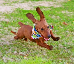 perro-saltando