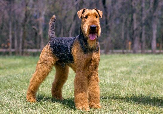 El-Airedale-Terrier