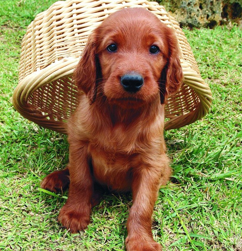 Irish-Setter-puppies-pictures