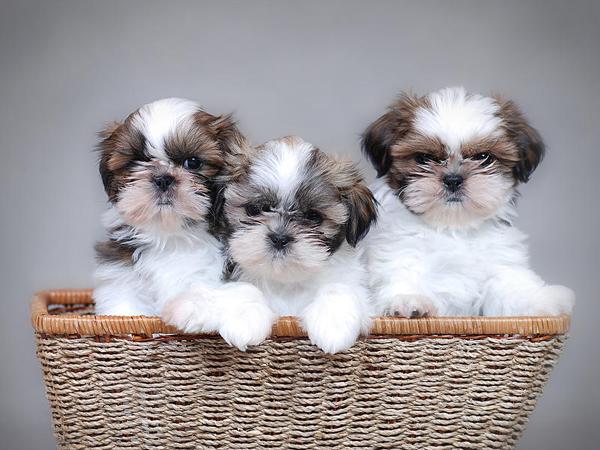 C mo se debe cuidar a un perro de raza shih tzu animales hoy - Cuando se puede banar a un perro ...