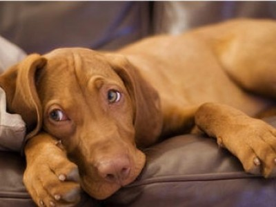cute-vizsla-puppy-apossibly-the-perfect-pet------the-story-of-the-vizsla--wags-whiskers-a5tctsgk