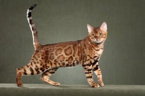 fotos-migatoesunico-bengali-leopardo