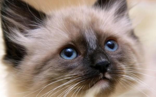 gatos-balineses