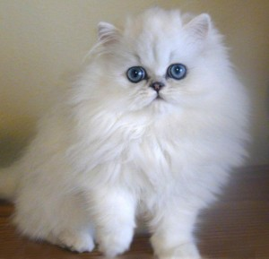 gatos-persas-5