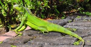 iguana-comportamiento