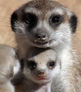 madre-suricata