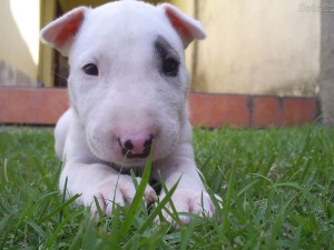 BullterrierCachorro