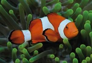 El CO2 provoca un peligroso efecto en peces payaso