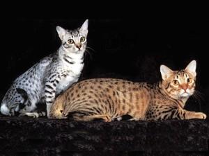 GatosOcicat
